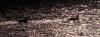 kachny na rybníku Dalibor